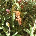 molting1